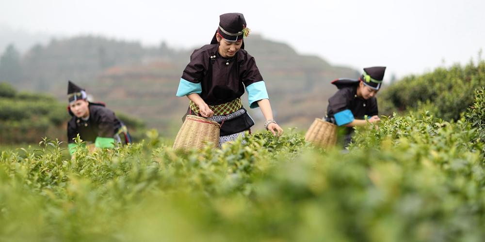 Сбор весеннего чая на чайных плантациях в провинции Гуйчжоу