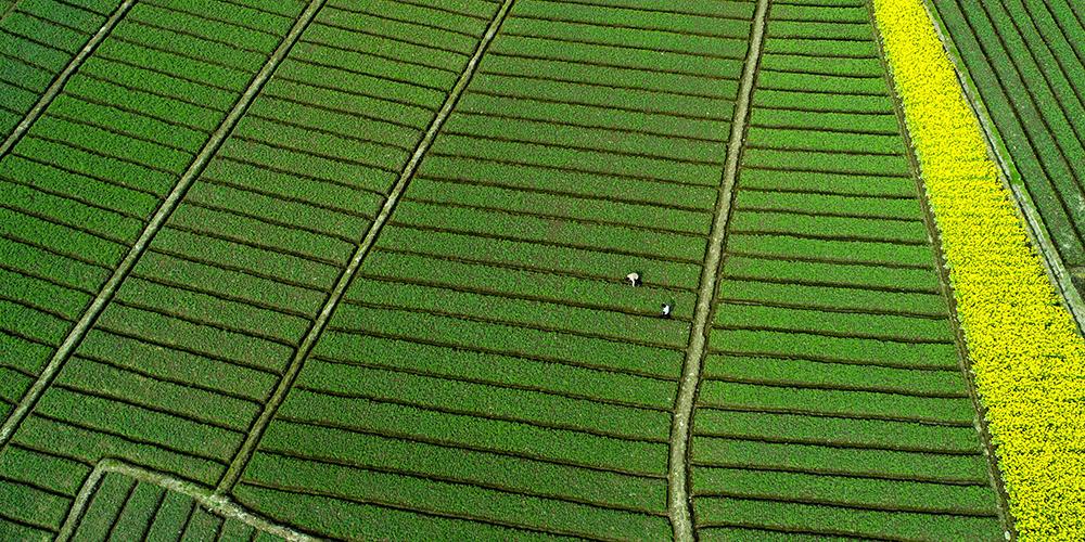 Весенняя страда у фермеров в провинции Шэньси