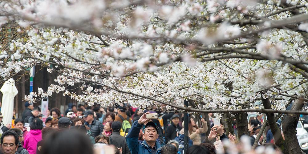Цветение вишни в Нанкине
