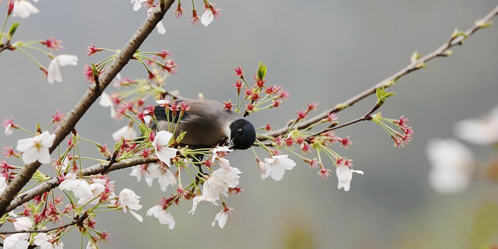 Цветы и птицы — весенний сюжет из Чжанцзяцзе