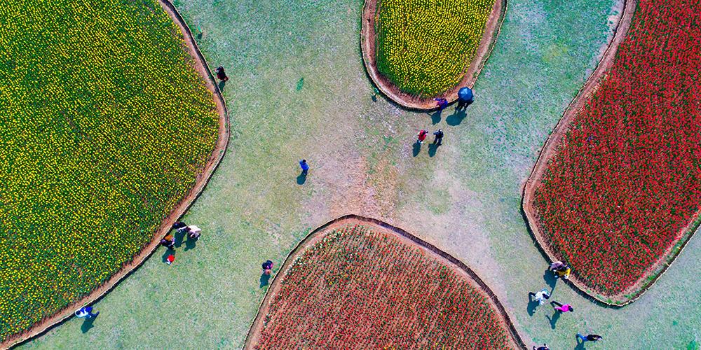 Миллионы тюльпанов зацвели в провинции Аньхой