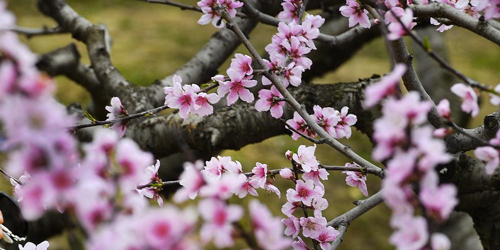 Весенние цветы в Шэньси