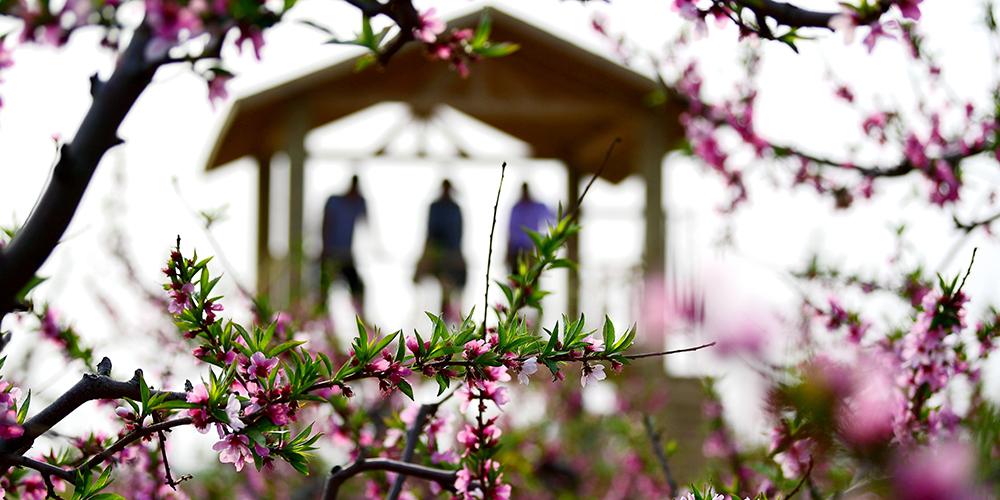 В поселке Гэюйчэн зацвели персиковые и яблоневые сады