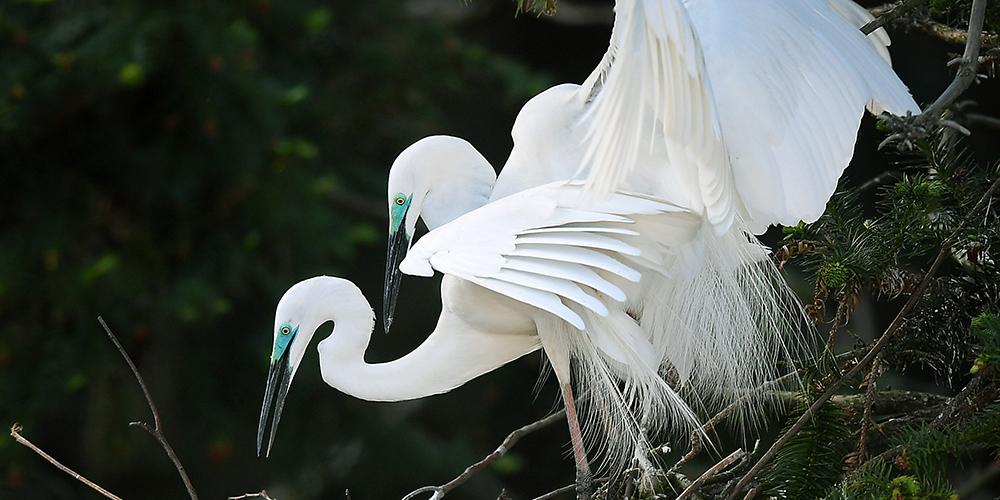 У цапель, гнездящихся на озере Поянху, начался брачный период