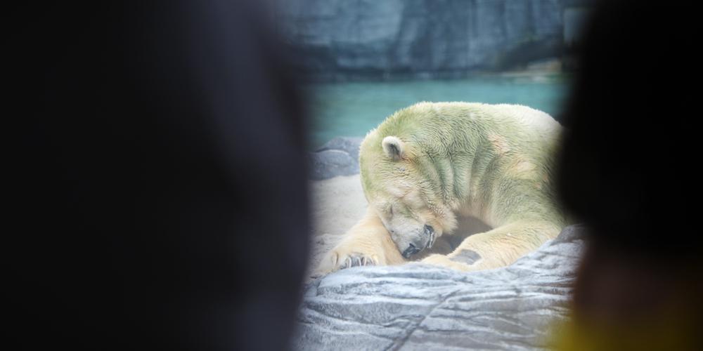 В Сингапуре умер первый в мире белый медведь, родившийся в тропиках
