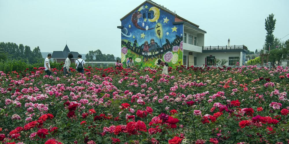 """Аромат """"городка роз"""" в уезде Лонань манит туристов со всего Китая"""