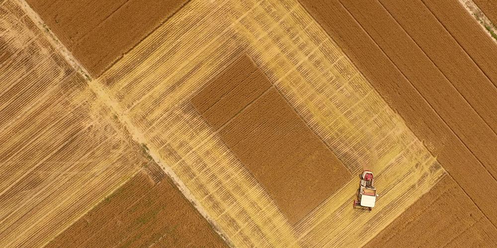 В этом году доля машинной уборки озимой пшеницы достигла в Китае 95,5 проц