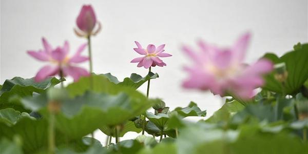 Фестиваль цветов лотоса на озере Минцуйху