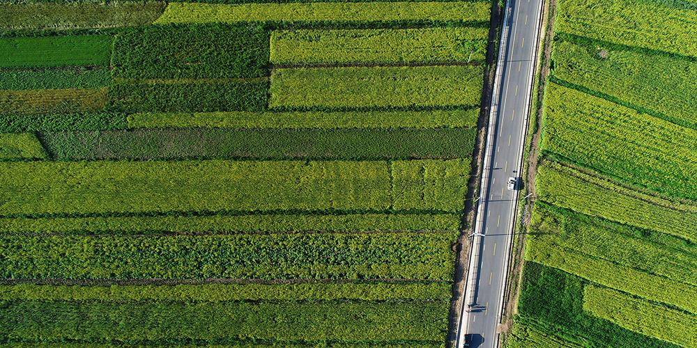 Цветение рапса на северо-западе Китая