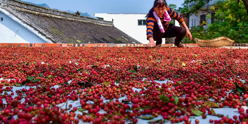 Производство желтодревесника в уезде Шэсянь