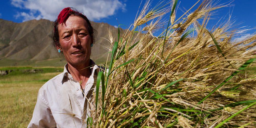 Урожай голозерного ячменя в Тибетском АР может установить новый рекорд