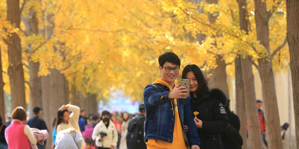 Золотые листья гинкго билоба в Пекине