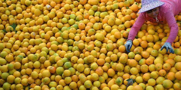 Сбор урожая пупочных апельсинов в провинции Цзянси на востоке Китая