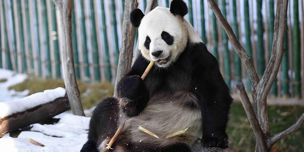 Игры больших панд в снегу на северо-востоке Китая