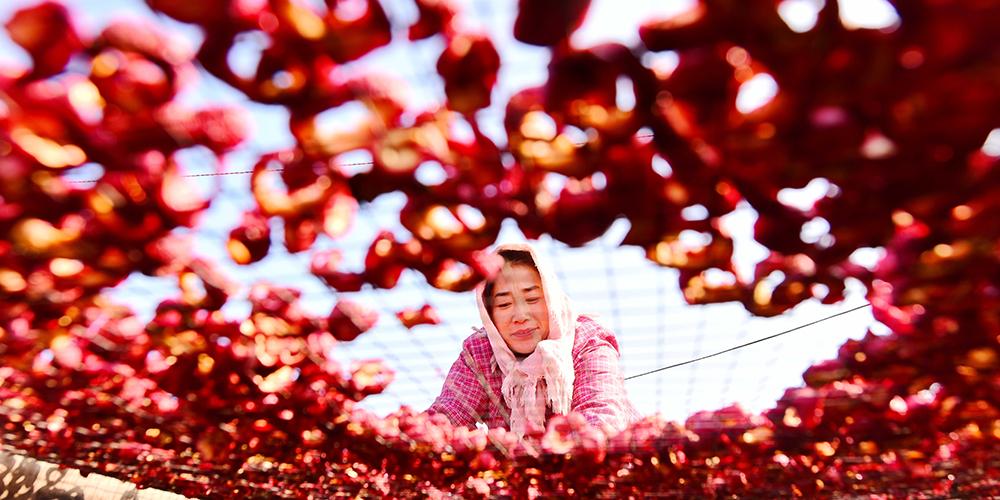 Урожай боярышника собрали в деревне Цзинтан провинции Шаньдун