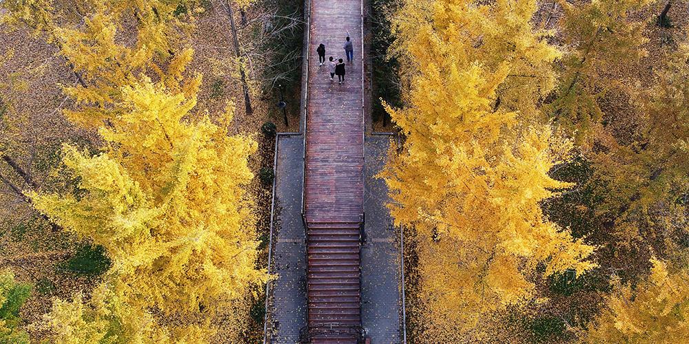 Золотые листья гинкго билоба в провинции Шаньдун на востоке Китая