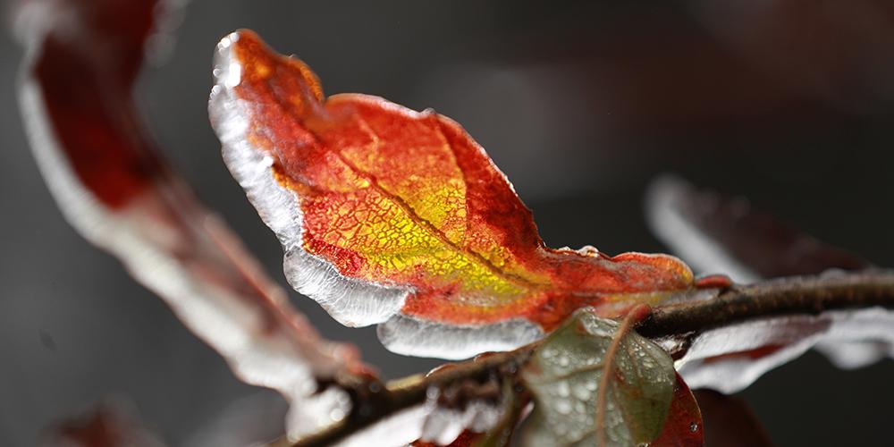 Цветы и листья во льду
