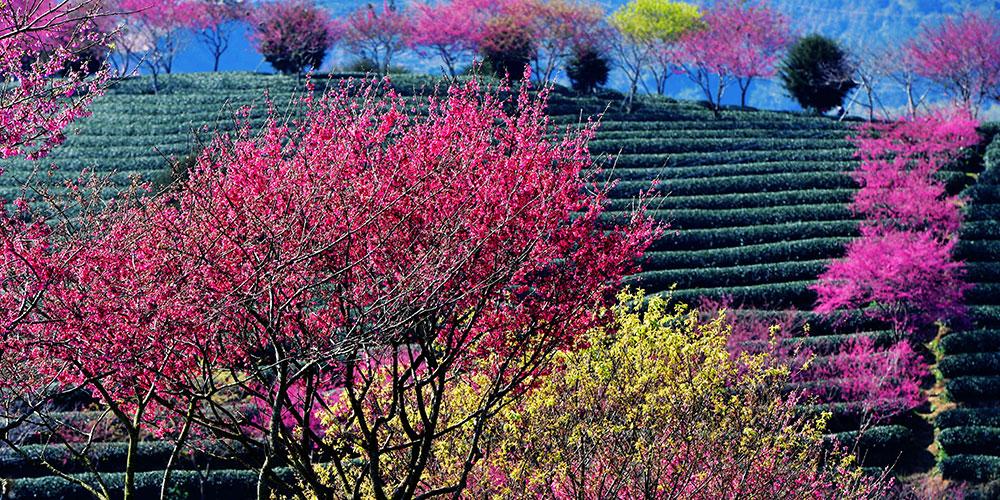Цветение вишни в городе Чжанпин