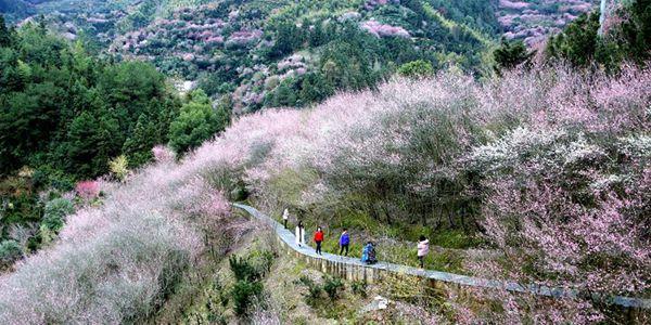 Цветущие сливы в уезде Шэсянь провинции Аньхой