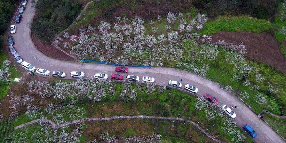 Любование цветущими вишнями в Чунцине
