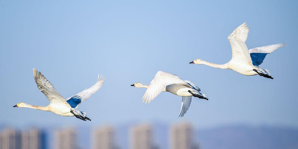 Стаи лебедей на водно-болотных угодьях вдоль реки Хуанхэ
