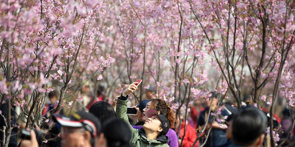 Фестиваль сакуры в пекинском парке