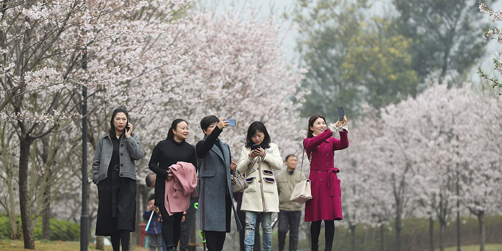 Цветение вишни в Мэйшане