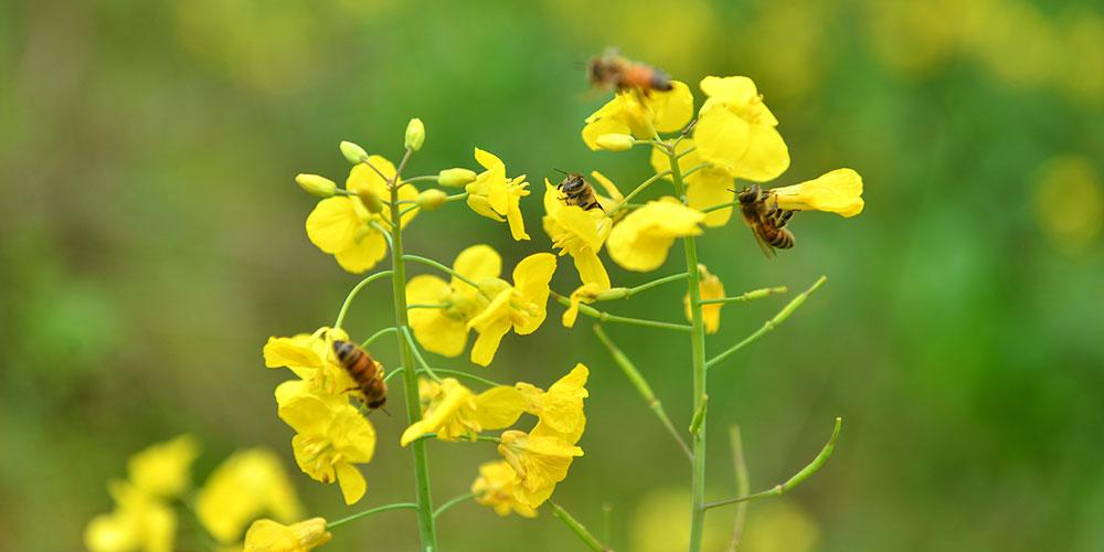 В Центральном Китае наступил сезон сбора меда