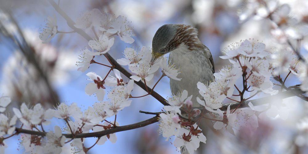Птицы среди цветов в провинции Хубэй