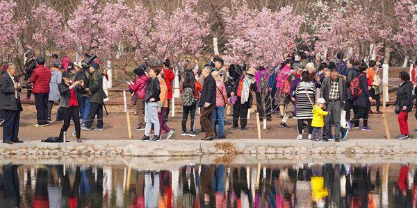 Фестиваль цветов вишни в пекинском парке Юйюаньтань