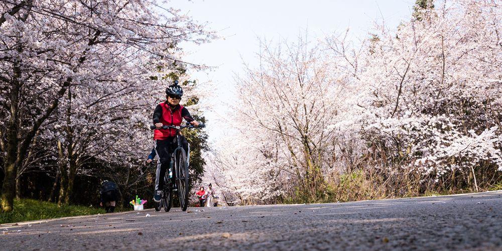 Цветы вишни в парках и садах Гуйаня