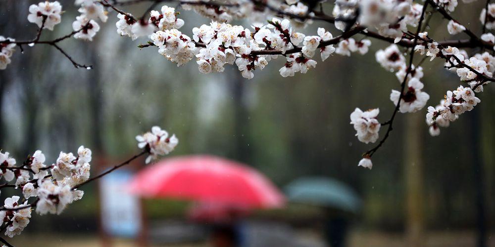 Весенние цветы в провинции Шаньдун под мартовским дождем