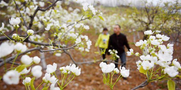 Провинция Шэньси окутана ароматом цветущих груш