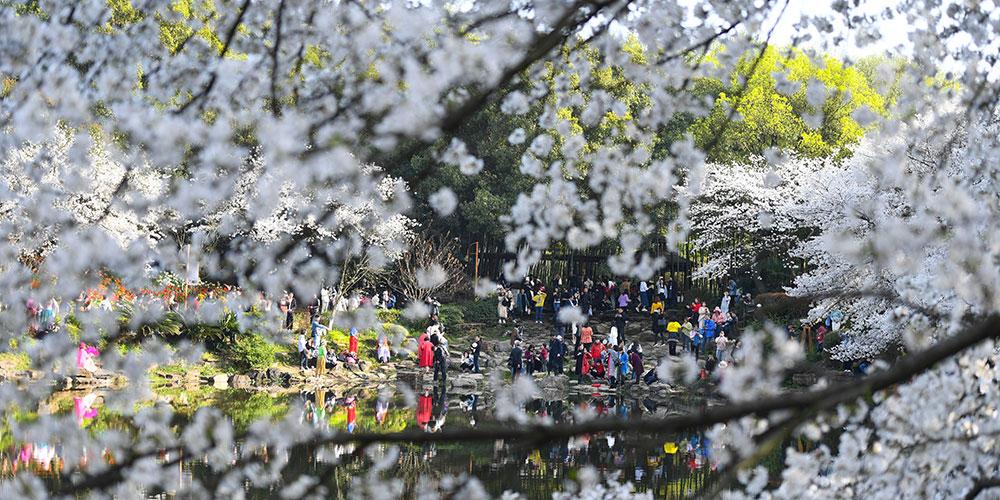 Вишневые сады провинции Хунань в лучах весеннего солнца