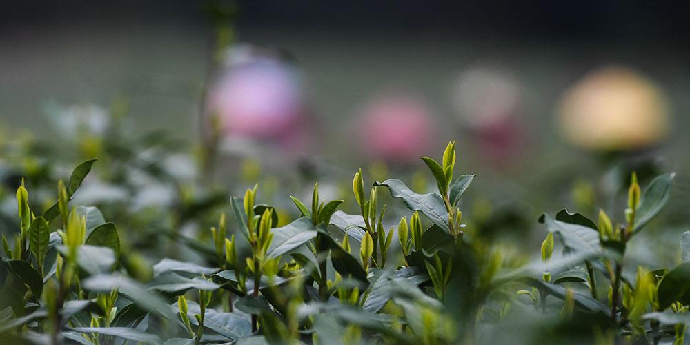 "На берегах озера Сиху начался сбор чая ""Лунцзин"""