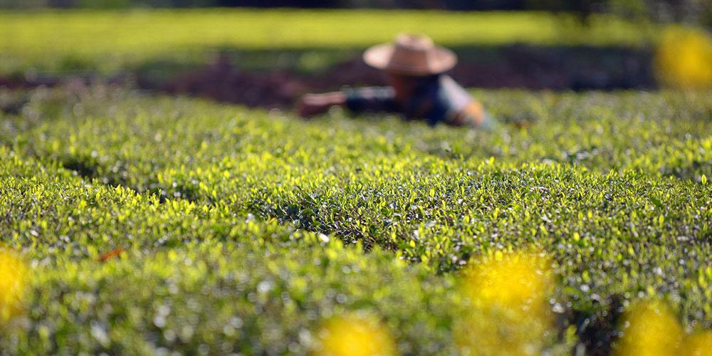 Сбор весеннего урожая чая в Китае
