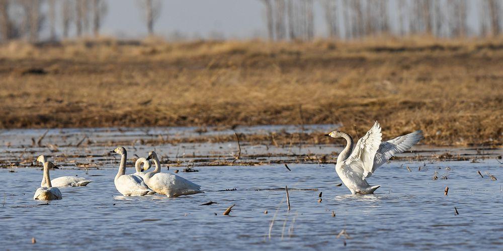 Стая лебедей на реке Хуанхэ во Внутренней Монголии