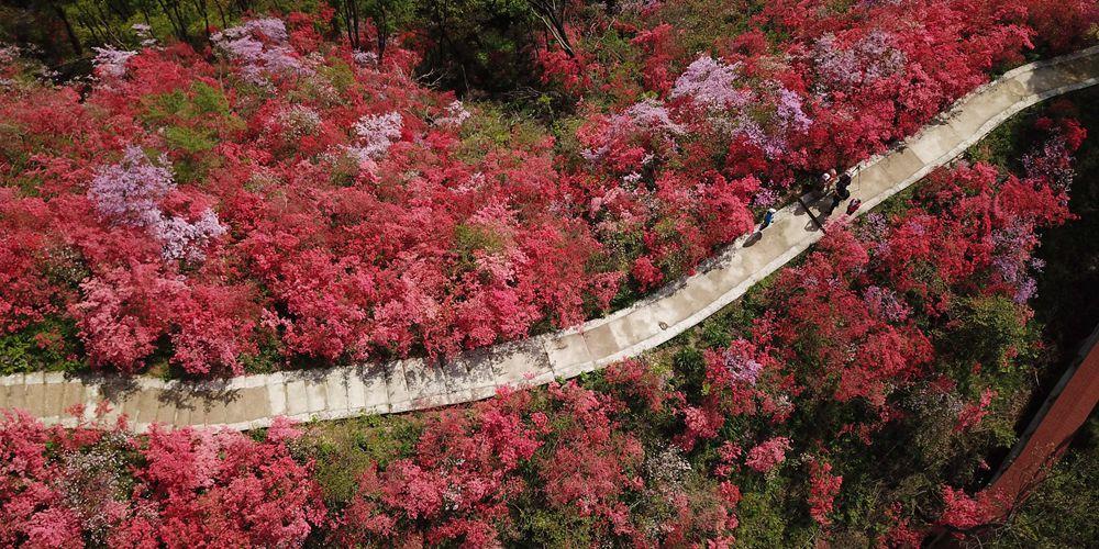 Цветущие азалии на склонах гор в провинции Аньхой
