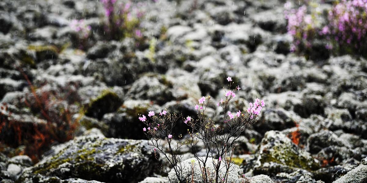 Цветение азалий в провинции Хэйлунцзян