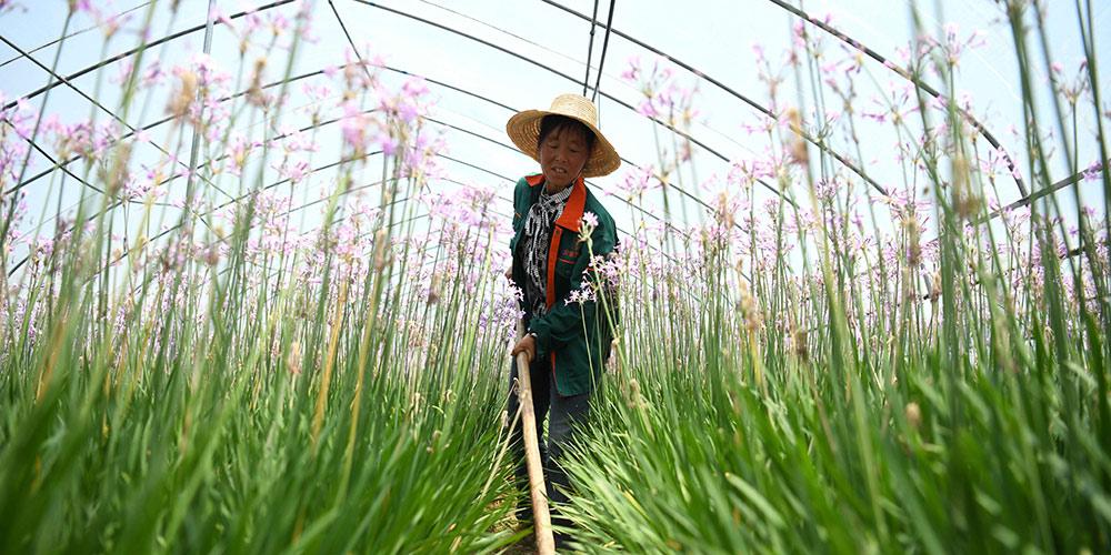 Выращивание цветов в поселке Тунъян провинции Аньхой