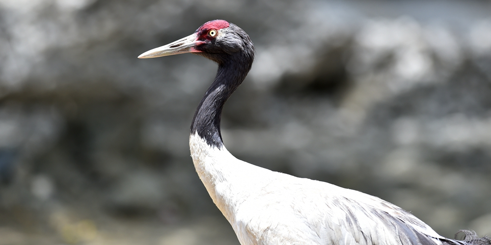 Реабилитация раненых перелетных птиц в монастыре Ташилунпо