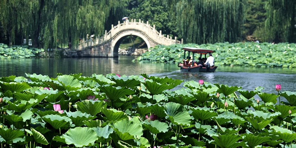 Море цветущих лотосов в пекинском парке Юаньминъюань
