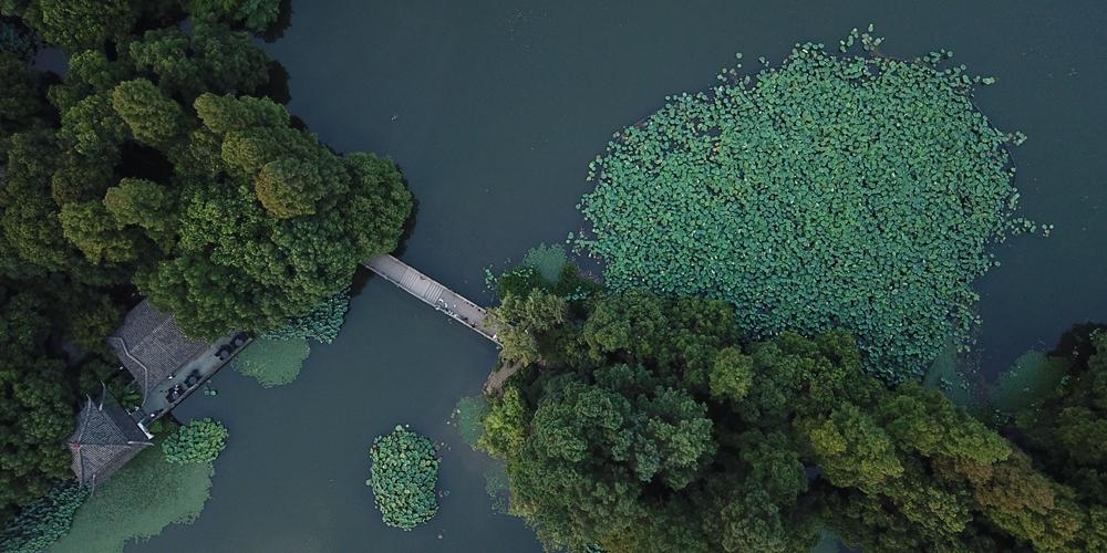 Лотосы на озере Сиху