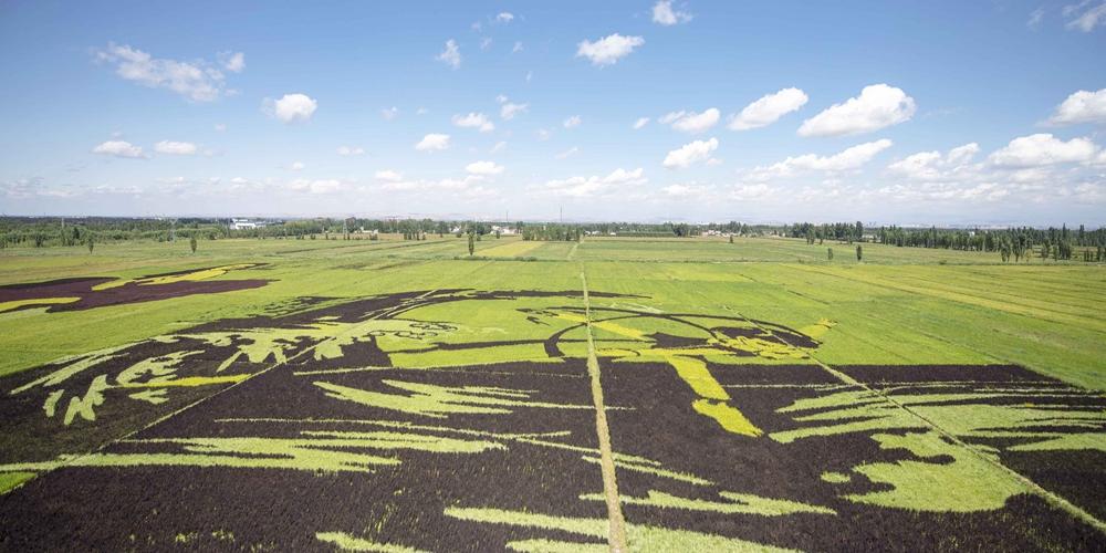 Картины на рисовых полях в Синьцзяне