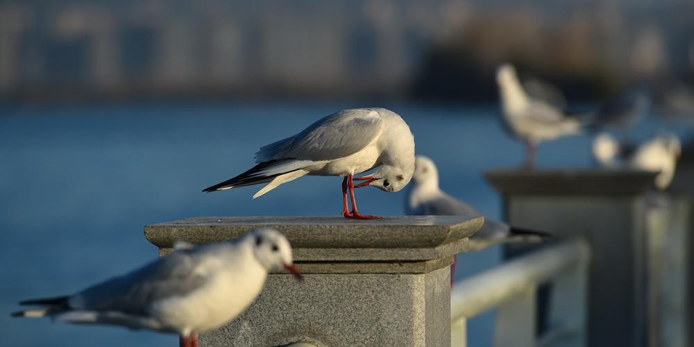Озерные чайки прилетели зимовать в Куньмин