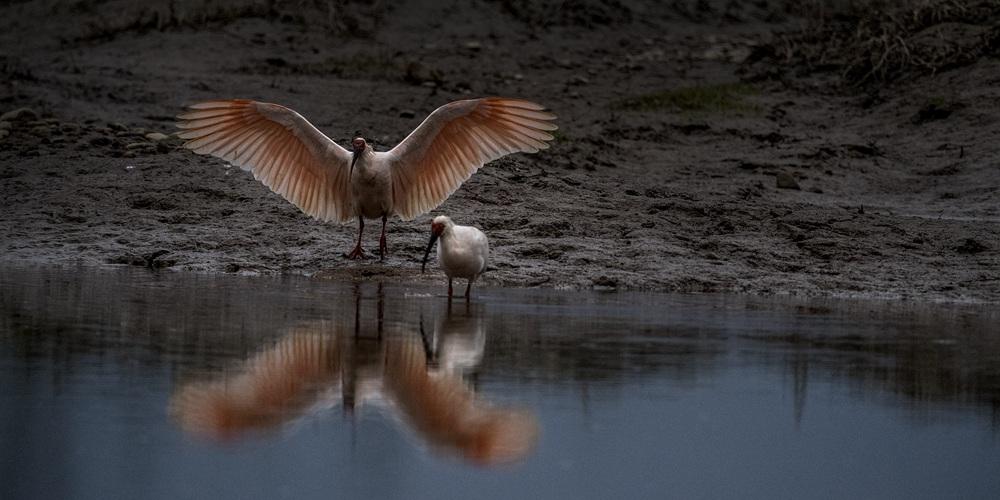 Красноногие ибисы зимуют в районе реки Ханьцзян