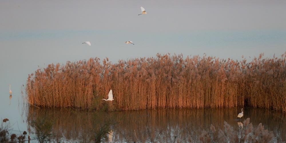 Водно-болотные угодья вдоль реки Хуанхэ -- настоящий рай для пернатых