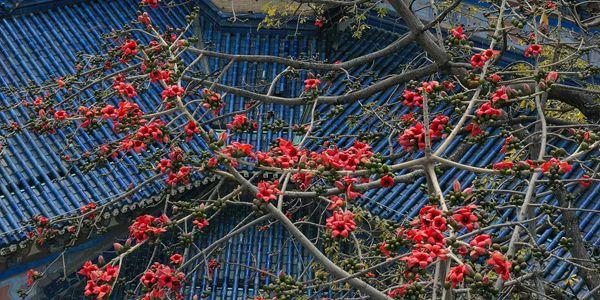 В Гуанчжоу зацвели хлопковые деревья