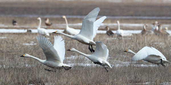 Перелетные птицы в национальном парке Хуангайнао