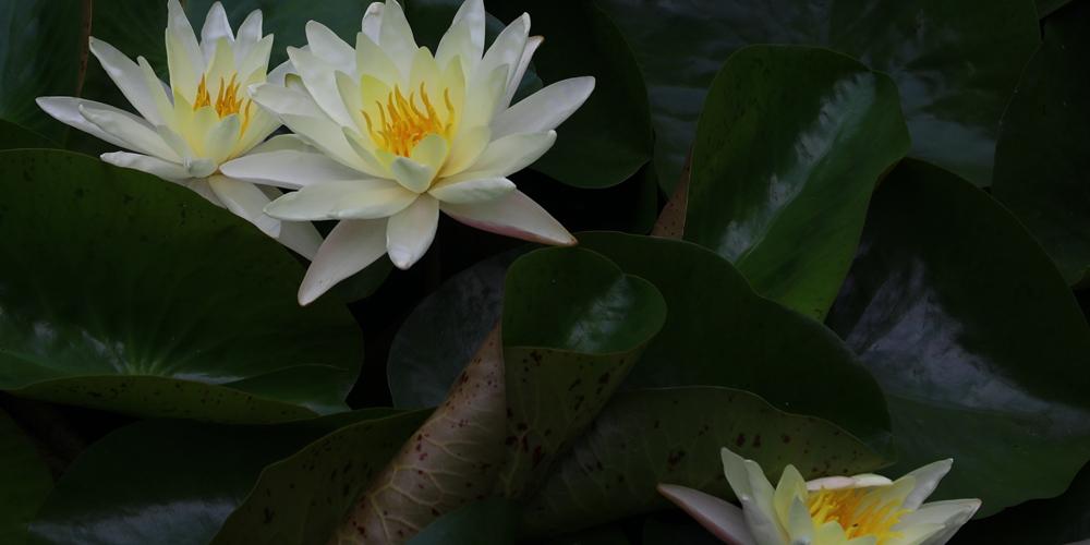 Цветение четырехгранных кувшинок в провинции Хунань
